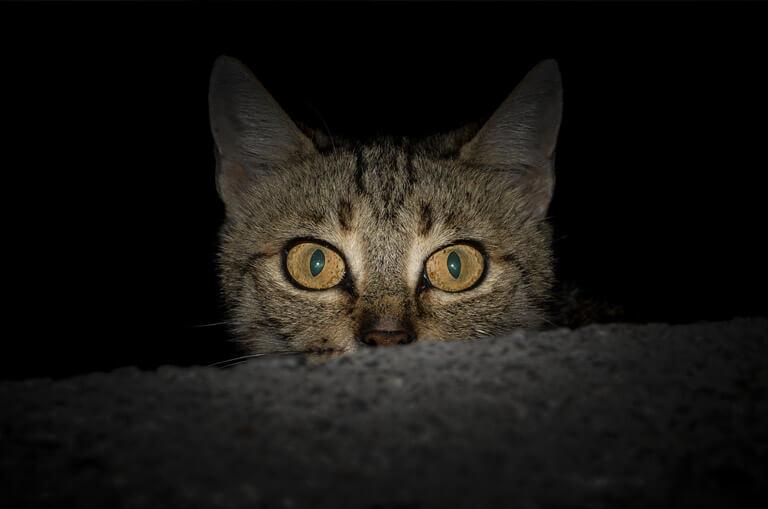 chat perdu animal nocturne